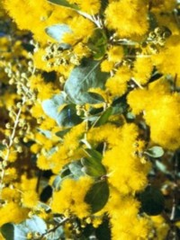 Shrubs 3 to 6m high medium sized shrubs for privacy screens and a quick growing hardy tall shrub small tree with silver grey foliage and golden ball shaped flowers in late winterows up to 6m high mightylinksfo