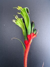 Anigozanthos Royal Cheer