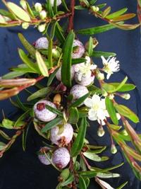 Austromyrtus dulcis x tenuifolia