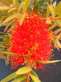 Callistemon Hinchinbrook