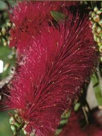 Callistemon violaceous