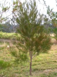Black She Oak Casuarina Littoralis 3 40 Allnatives