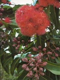 Corymbia ptychocarpa