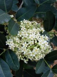Flindersia australis