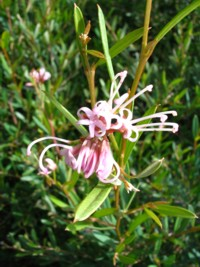 Grevillea Jennifer Joy