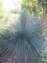 Xanthorrhoea latifolia