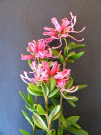 Grevillea Little Miss Muffet
