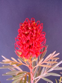 Grevillea Ruby Red
