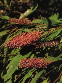 Grevillea longifolia