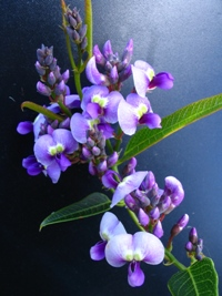 Hardenbergia violaceae Bliss