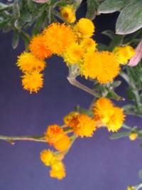 Helichrysum apiculatum