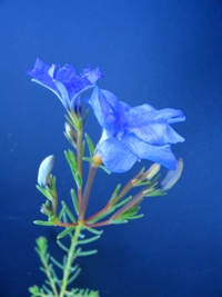 Lechenaultia biloba compact Blue
