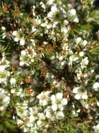Leptospermum Cardwell