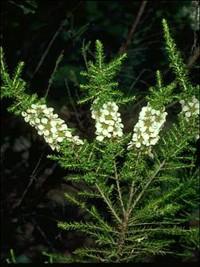 Leptospermum liversidgei