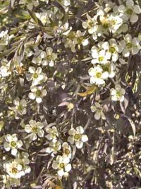 Fragrant plants plants carefully chosen for the beautiful fragrance tall evergreen shrub with narrow aromatic leaves and a generally weeping growth habit bears masses of small white five petalled flowers during summer mightylinksfo