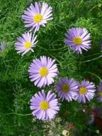 Brachyscome multifida lilac