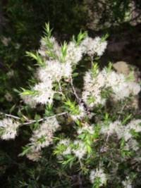 Melaleuca stypheliodes