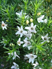 Myoporum parvifolium