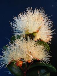 Syzygium australe Round Leaf Form