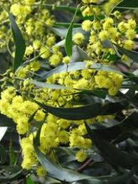 Golden Wattle Acacia Pycnantha 340australian Golden Wattle
