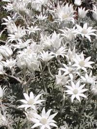 Shrubs 1 Metre Or Less High Smaller Flowering Shrubs For