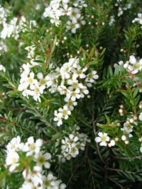 Shrubs 1 metre or less high smaller flowering shrubs for a very dense and compactdwarf form of baeckea virgata it is a very attractive little shrub bears masses of small white5 petalled flowers mightylinksfo