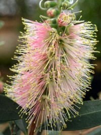 Callistemon citrinus Angela