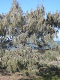Casuarina equisetifolia ssp incana