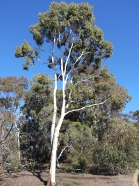 Eucalyptus argophloia