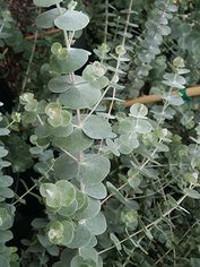 Argyle Apple Eucalyptus Cinerea 3 40 Silver Dollar