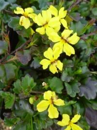 Goodenia hederacea