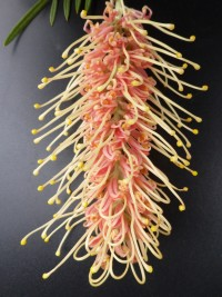 Grevillea Kay Williams