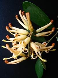Grevillea victoriae Yellow Flowering