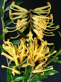 Grevillea Winter Gold
