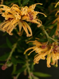 Grevillea Sunkissed