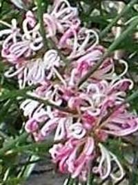 Hakea sericea pink