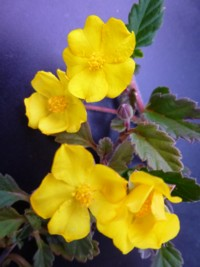 Hibbertia grossulariifolia