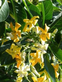 Native frangipani hymenosporum flavum 340allnatives online a smaller tree with an upright growth habit and a dense canopy of dark green foliage the spring flowers are yellow and have the typical sweet frangipani mightylinksfo