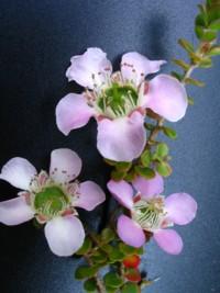 Leptospermum rotundifolium Julie Anne