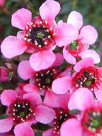 Leptospermum nanum dwarf pink