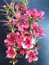 Leptospermum Red Cascade