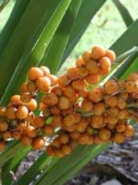 Lomandra spicata