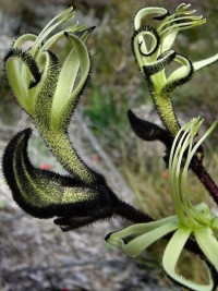 Macropidia fuliginosa