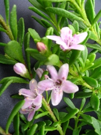 Creeping pink boobialla myoporum parvifolium pink 340 beautiful hardy groundcover with small fleshy green leaves and very attractive pale pink star shaped flowersost resistant mightylinksfo Choice Image