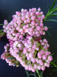 Beckers pink bouquet riceflower ozothamnus beckers pink bouquet an attractive evergreen shrub with fine foliage and covered in tight heads of small pink sago type flowers over a long period of time mightylinksfo