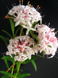 Pink rice flower pimelea linifolia pink 340allnatives pimelea linifolia pink mightylinksfo