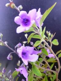 Prostanthera ovalifolia compacta