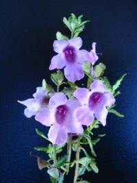 Prostanthera ovalifolia x stenophylla Pink