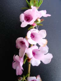 Prostanthera rylstonii Pink