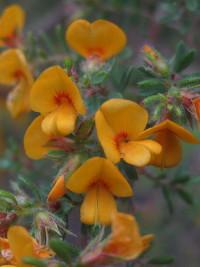 Pultenaea villosa
